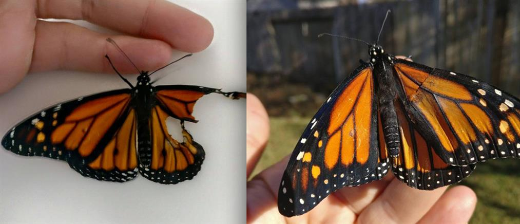 c67876061e3 Έκανε μεταμόσχευση φτερού σε ...πεταλούδα! (βίντεο)