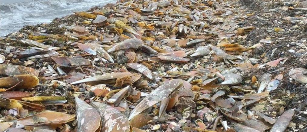 Χιλιάδες νεκρές πίνες ξεβράστηκαν σε παραλία (βίντεο)