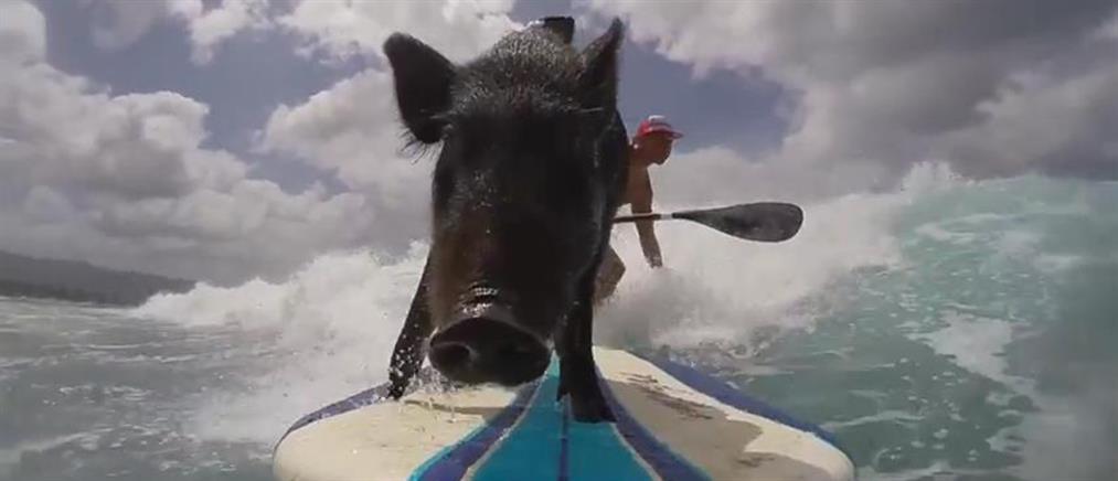 Ο πιο δεινός σέρφερ στη Χαβάη είναι… γουρούνι!