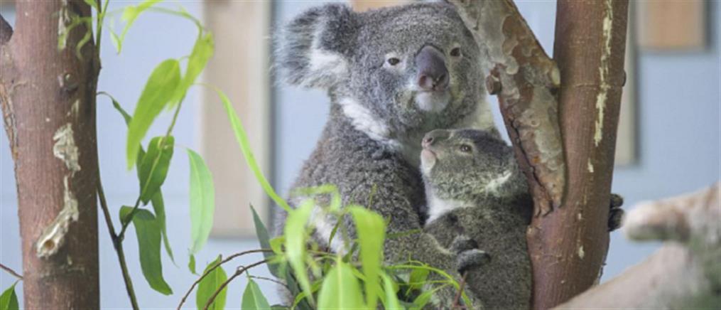 Νεογέννητο κοάλα ξετρελαίνει μικρούς και μεγάλους! (εικόνες)