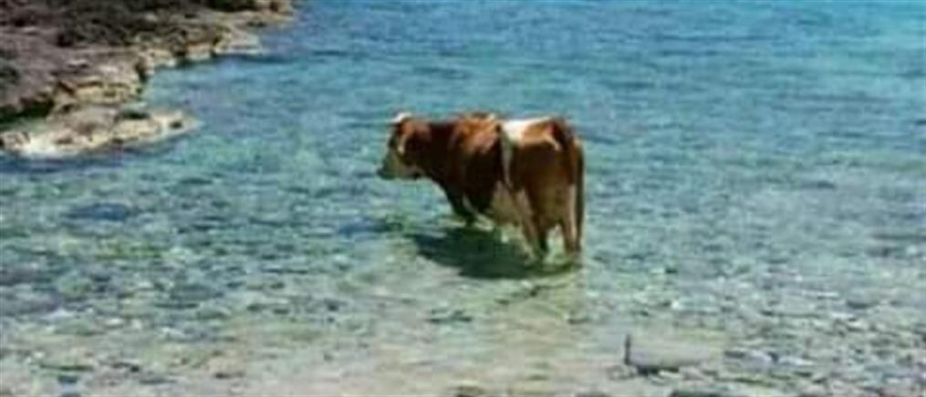 Το μπάνιο της… αγελάδας! (εικόνες)