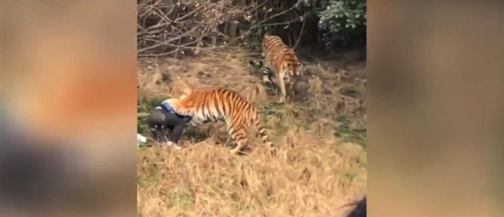 Βίντεο – σοκ: Τίγρης κατασπαράζει άνδρα μπροστά στην οικογένειά του