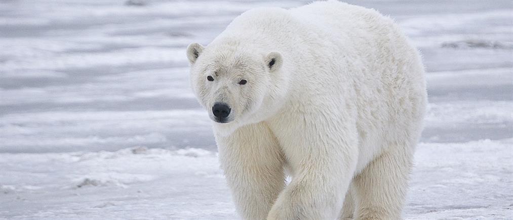 Οδύσσεια για τις πολικές αρκούδες το λιώσιμο των πάγων