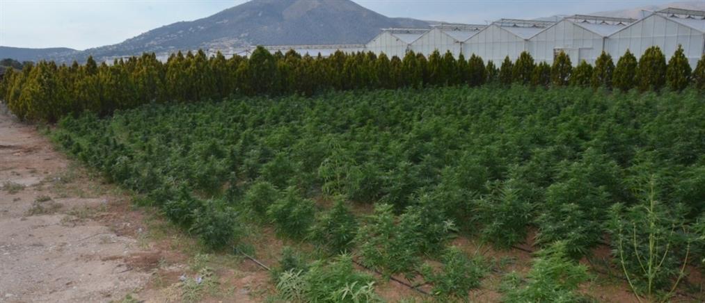 Φυτεία με 46000 δενδρύλλια χασίς και ...τζίρο 26 εκατομμύρια ευρώ! (βίντεο)