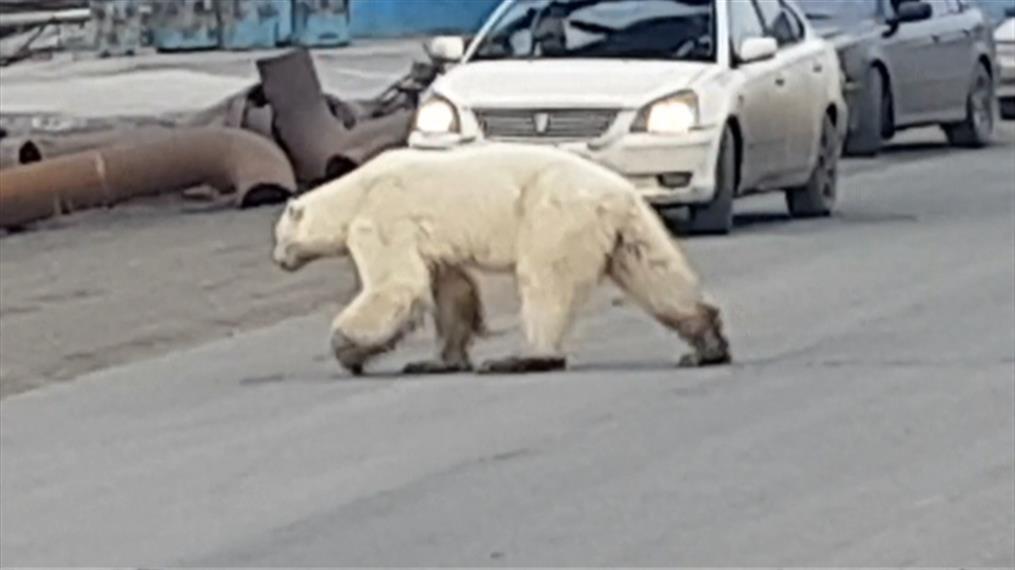 Πολική αρκούδα περιπλανιέται στους δρόμους της Σιβηρίας