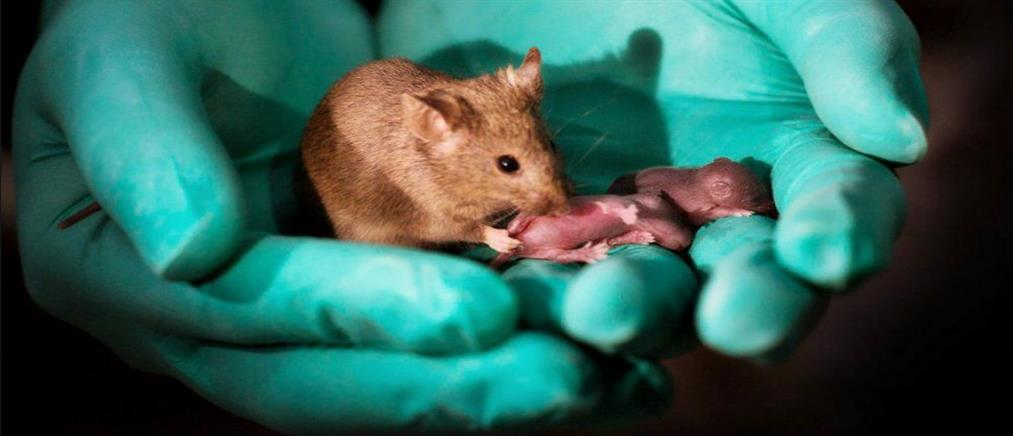 """""""Γεννήθηκαν"""" ποντίκια χωρίς τη... συμμετοχή αρσενικού"""