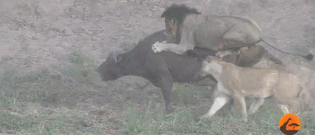 Η απόδραση του βούβαλου από τα δόντια των λιονταριών (βίντεο)