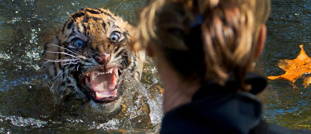 Κορονοϊός: Θετικά βρέθηκαν λιοντάρια και τίγρεις σε ζωολογικό κήπο