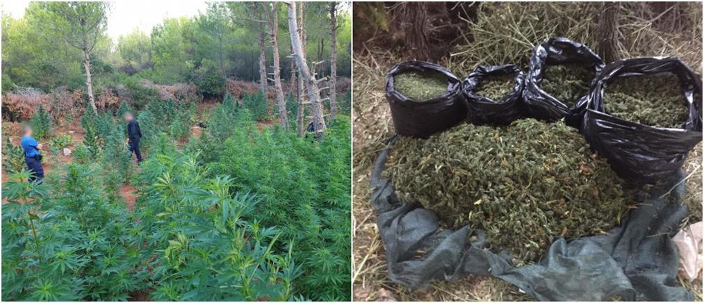 Συλλήψεις για φυτεία με χιλιάδες δενδρύλλια κάνναβης