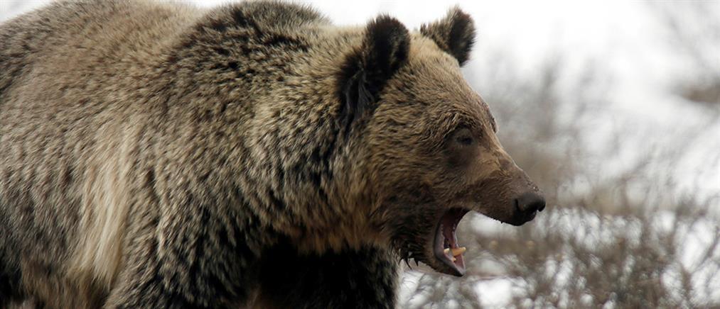 Σκοτώθηκε αρκούδα σε τροχαίο