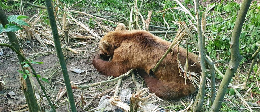 Αρκτούρος: απεγκλωβισμός αρκούδας από παράνομη παγίδα (εικόνες)