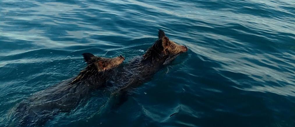 """Ψαράδες """"συνάντησαν"""" αγριογούρουνα στο Ιόνιο πέλαγος! (βίντεο)"""