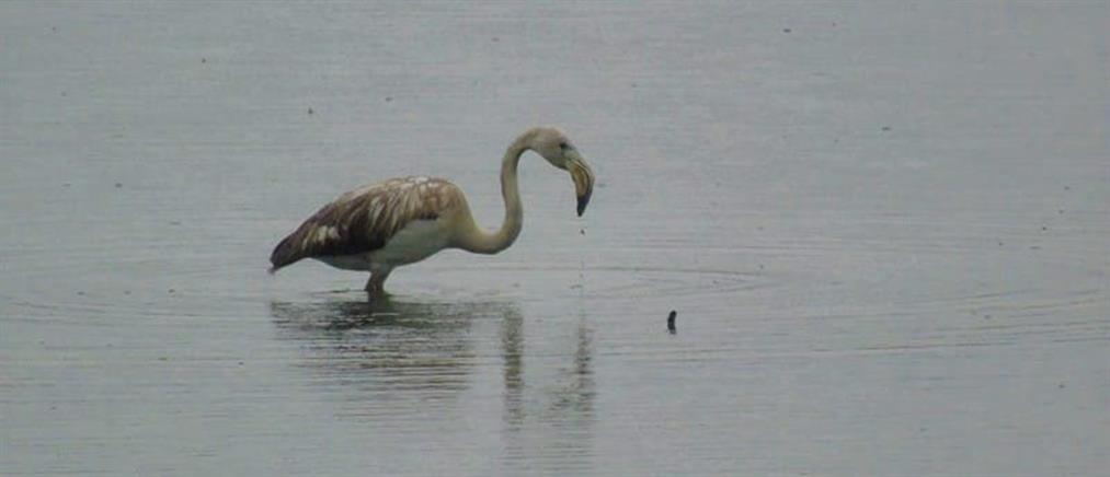 Φλαμίνγκο στη λίμνη Ιωαννίνων (εικόνες)