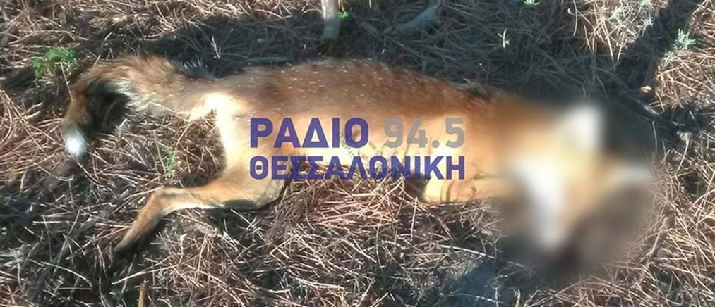 Χαλκιδική: προβληματισμός για τις νεκρές αλεπούδες (εικόνες)