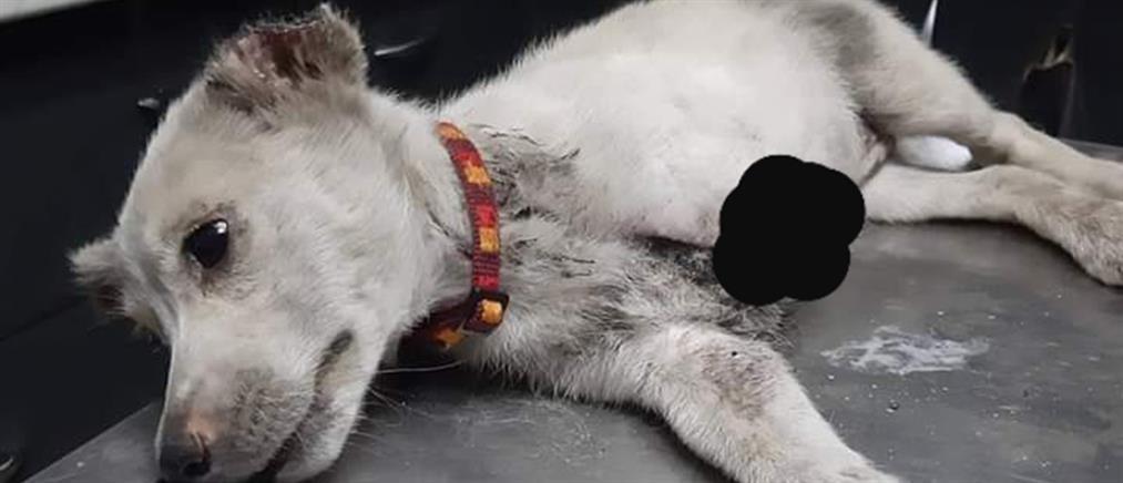 Κτηνωδία: έκοψαν το πόδι και τα αυτιά σκύλου στην Ξάνθη! (εικόνες)
