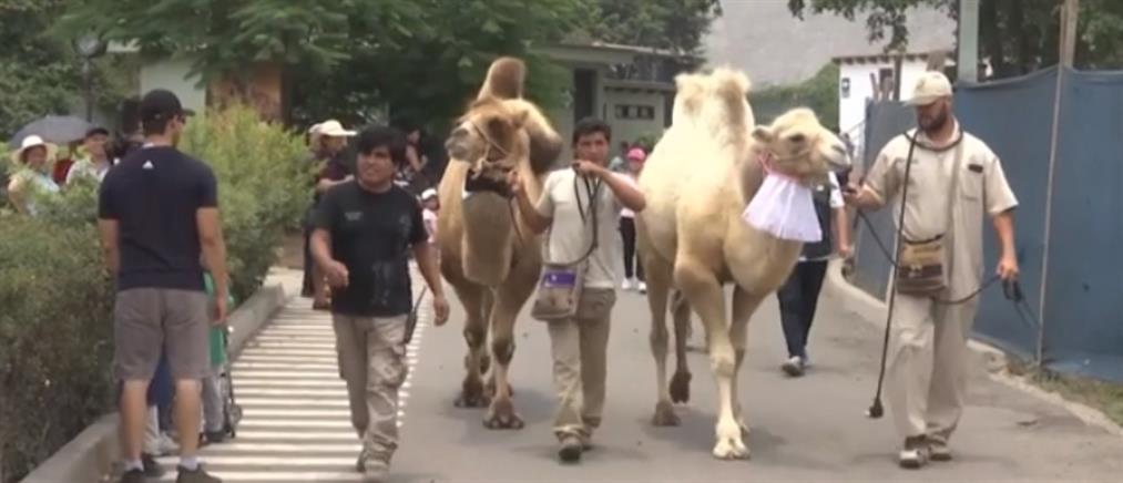 """Καμήλες """"παντρεύτηκαν"""" σε ζωολογικό κήπο (βίντεο)"""
