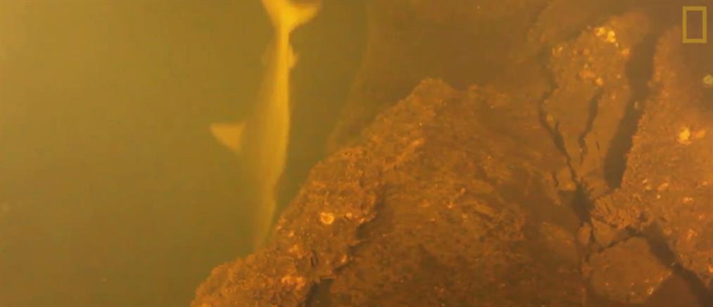 Εντοπίστηκαν καρχαρίες μέσα σε ενεργό ηφαίστειο!(βίντεο)
