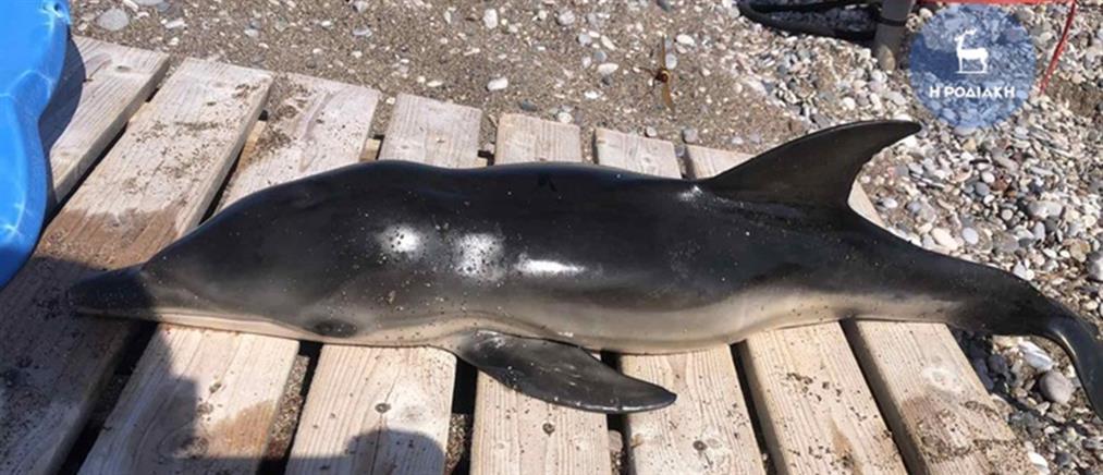 Ρόδος: Νεκρό δελφίνι εντοπίστηκε κοντά σε παραλία
