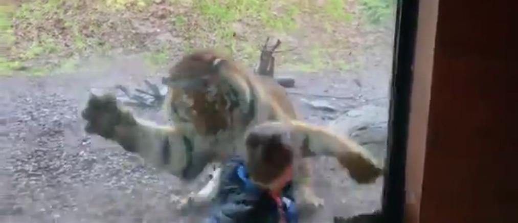 """Τίγρης """"επιτίθεται"""" σε παιδάκι μέσα σε ζωολογικό κήπο (βίντεο)"""