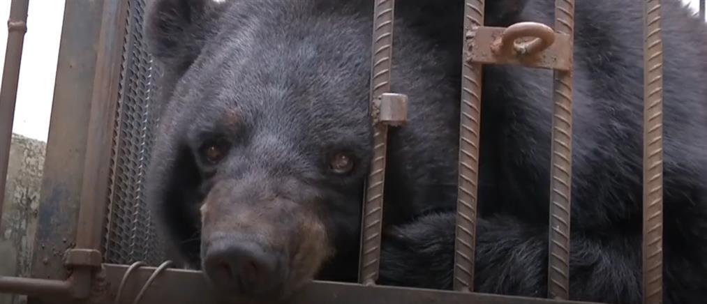 Αγόρασε κουτάβι που μεγαλώνοντας αποδείχθηκε... αρκούδα (βίντεο)