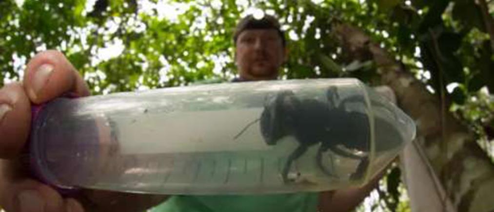 Η μεγαλύτερη μέλισσα του κόσμου εμφανίστηκε ξανά μετά από 38 χρόνια (εικόνες)