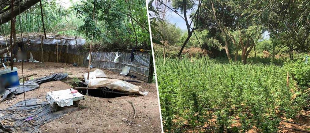 Σπείρα καλλιεργούσε 3400 δενδρύλλια κάνναβης (εικόνες)