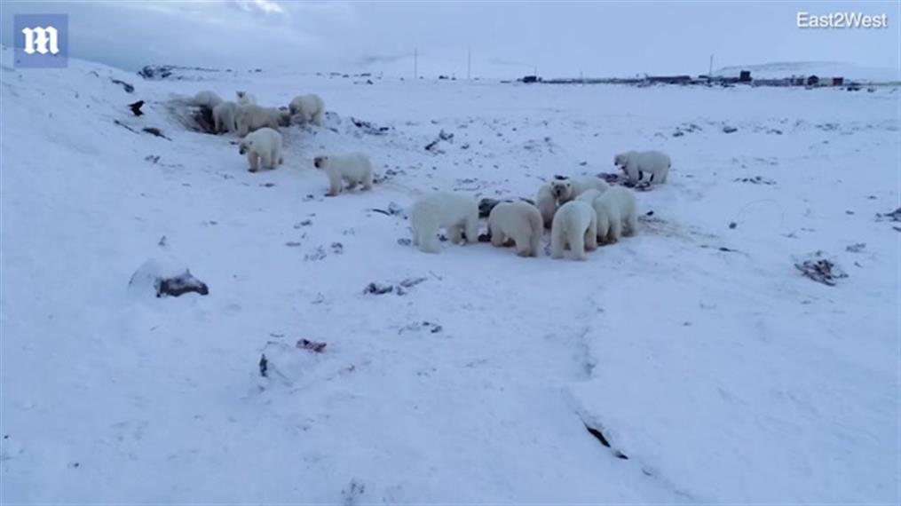 Πολικές αρκούδες έχουν περικυκλώσειστο Ryrkaypiy της Ρωσίας