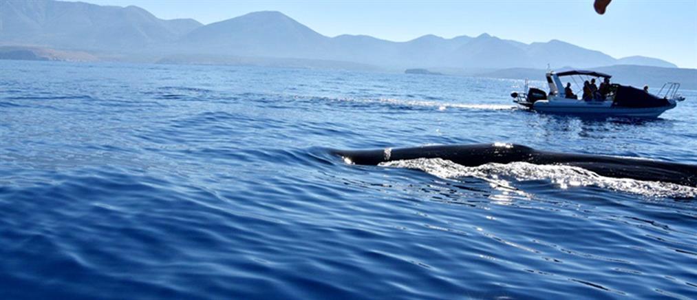 Φάλαινα φυσητήρας 20 μέτρων στην Μάνη (εικόνες)