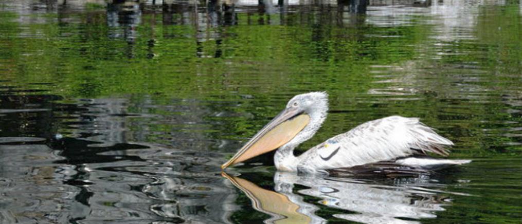Γρίπη των πτηνών: Συναγερμός μετά από κρούσμα σε πελεκάνο