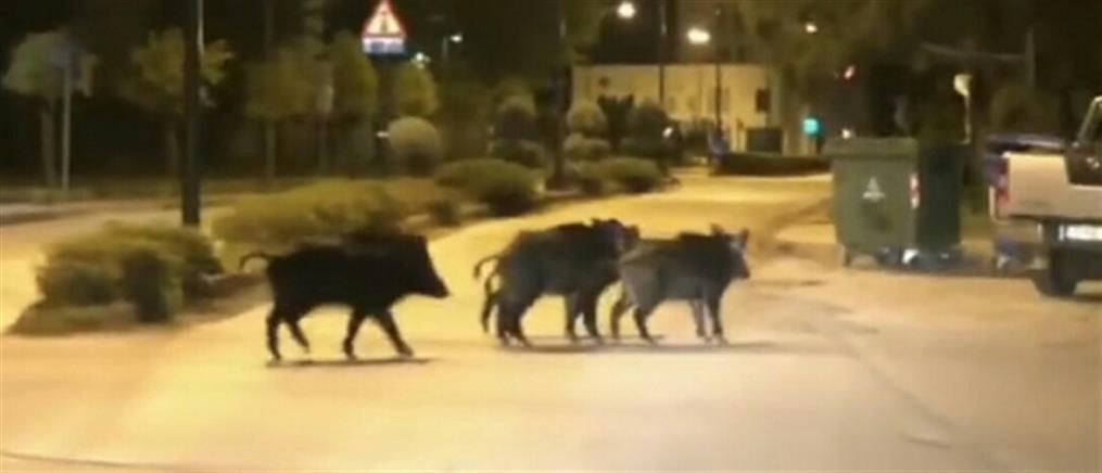 """Αγριογούρουνα """"έκοβαν"""" βόλτες στα Τρίκαλα!"""