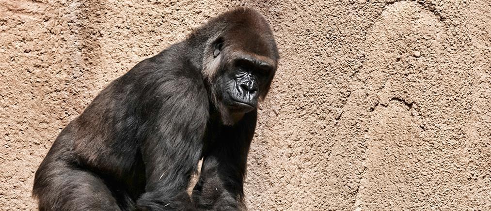 Κορονοϊός: Μεγάλοι πίθηκοι τα πρώτα θηλαστικά που εμβολιάσθηκαν κατά της Covid-19