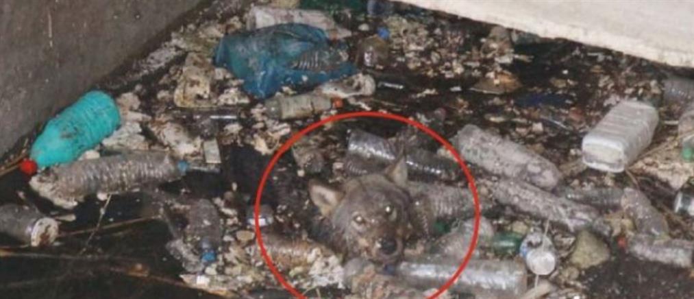 Διέσωσαν λύκο που είχε εγκλωβιστεί σε αρδευτικό κανάλι στην Ημαθία (βίντεο)