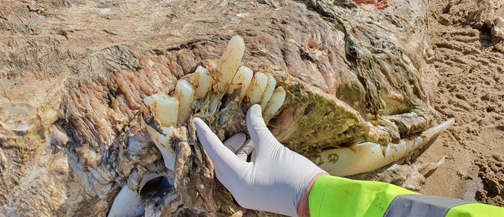 Μυστήριο με τεράστιο θαλάσσιο πλάσμα που ξεβράστηκε σε ακτή (εικόνες)