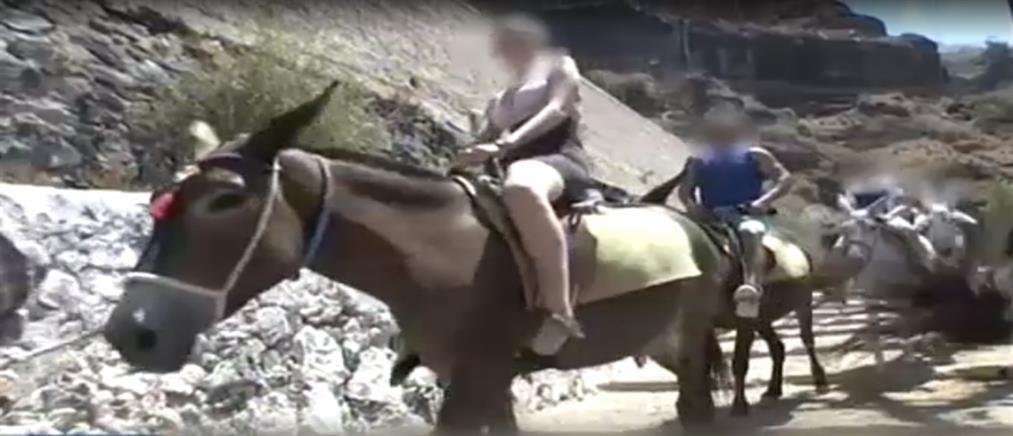 Καταγγελία ακτιβιστή ότι κακοποιήθηκε επειδή κατέγραφε βασανιστήρια σε γαϊδουράκια στην Σαντορίνη (βίντεο)