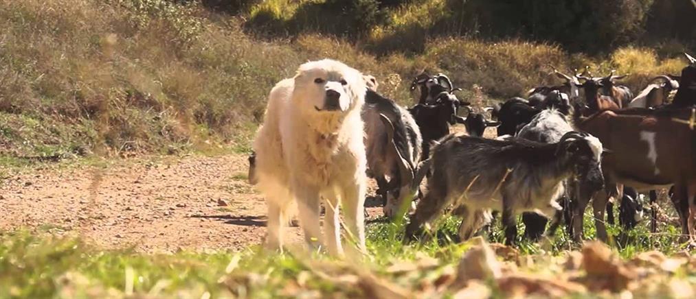 Ζευγάρι δέχθηκε άγρια επίθεση από τα σκυλιά του
