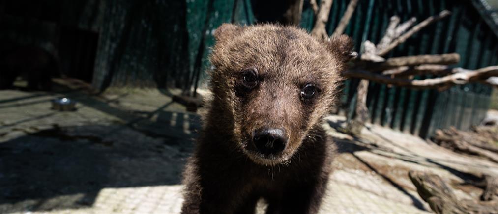 Καστοριά: Αρκουδάκι εγκλωβίστηκε σε αγροικία