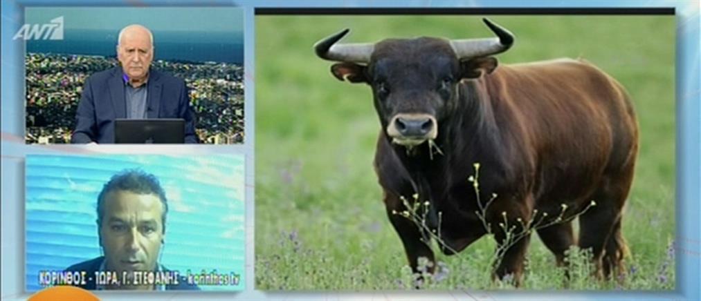 Τραγωδία στην Κόρινθο: Αφηνιασμένος ταύρος προκάλεσε θάνατο και πανικό