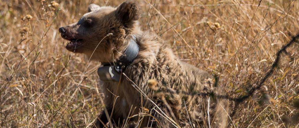 Αρκουδάκι εγκλωβίστηκε σε παράνομη παγίδα (εικόνες)
