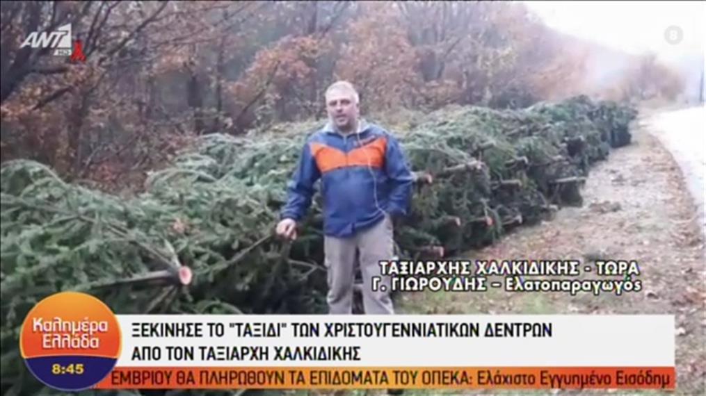 Χαλκιδική; Ξεκίνησε το «ταξίδι» των χριστουγεννιάτικων δέντρων