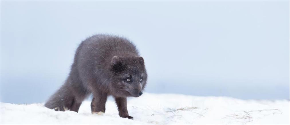 "To επικό ""ταξίδι"" μιας αλεπούς από τη Νορβηγία έως… τον Καναδά"