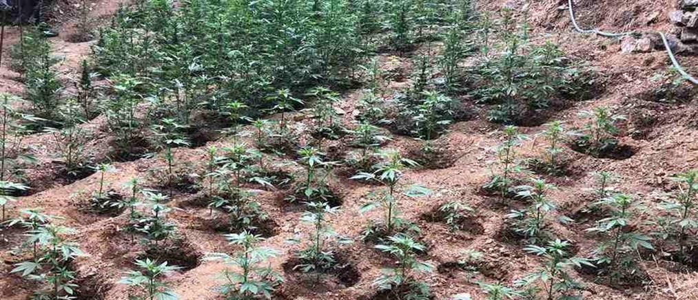 Χιλιάδες χασισόδεντρα… ορεινής καλλιέργειας (εικόνες)