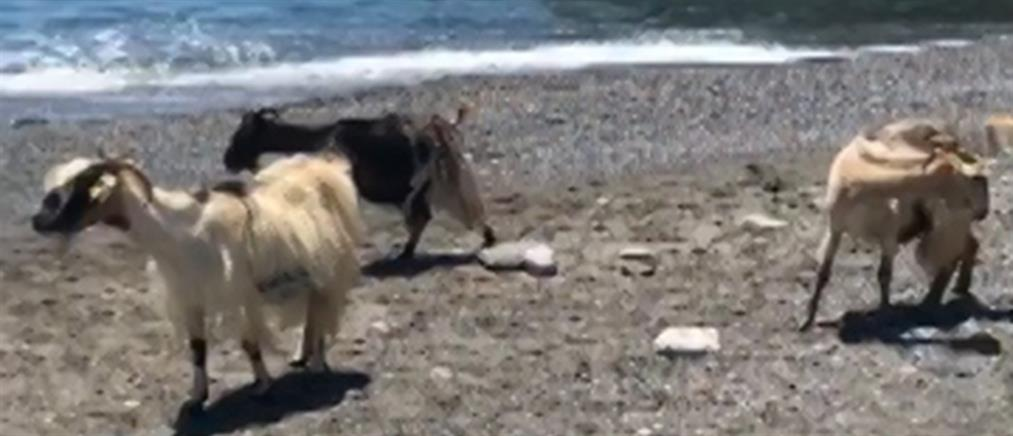 Κατσίκες κατέβηκαν για… μπάνιο στην παραλία (βίντεο)