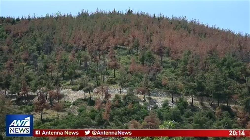 """Συναγερμός για έντομο """"φονιά"""" που έχει καταστρέψει δεκάδες χιλιάδες στρέμματα δάσους"""