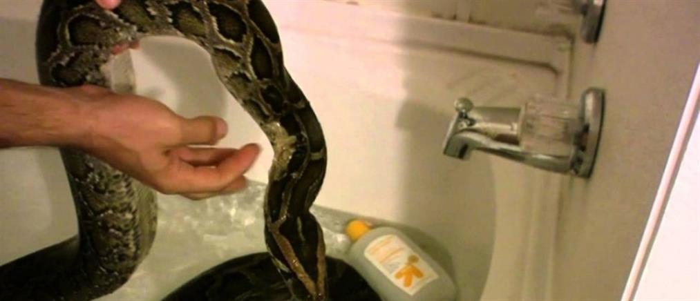 Τρόμος: Εμφανίστηκε πύθωνας την ώρα που έκανε μπάνιο