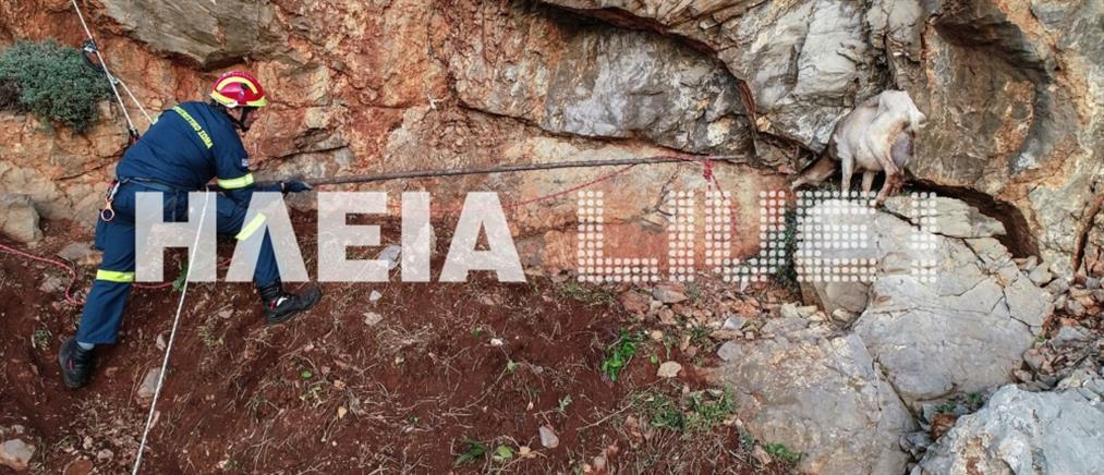 Μαραθώνια επιχείρηση για τη διάσωση κατσίκας από βράχια (εικόνες)