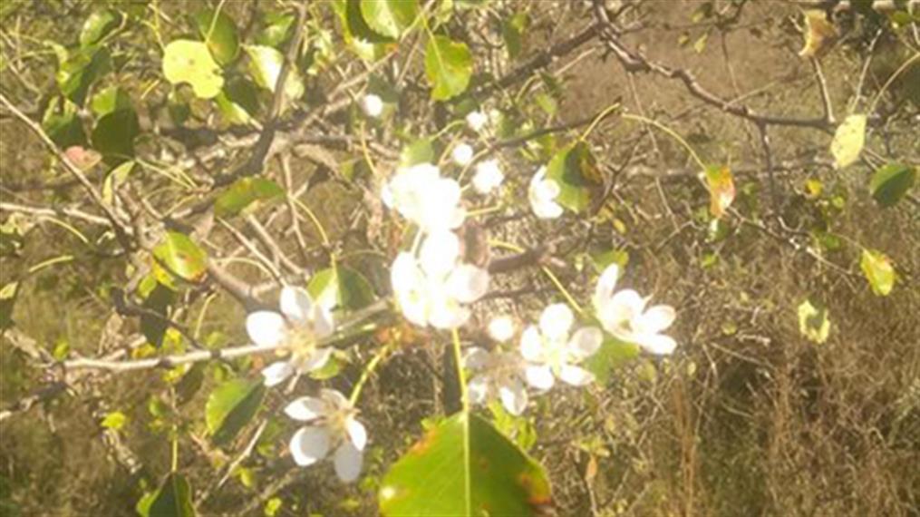 Άνθισαν τα δέντρα εν μέσω Φθινοπώρου στις Σέρρες