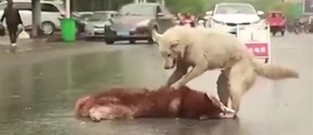 Σπαρακτικό βίντεο: Χάσκι που προσπαθεί να ξυπνήσει τον νεκρό του φίλο