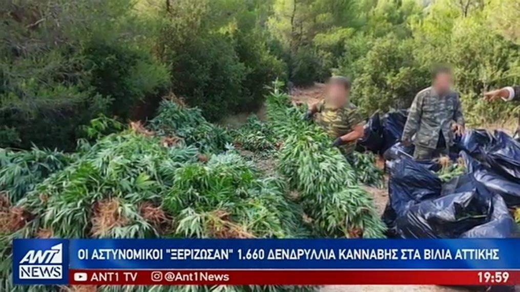 """""""Δάση"""" από… κάνναβη σε Παρνασσό και Βίλια"""