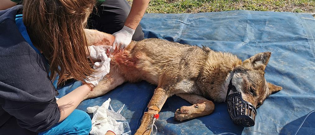 """Αίσιο τέλος για τον λύκο που """"καρφώθηκε"""" σε λόγχες καγκελόπορτας (εικόνες)"""