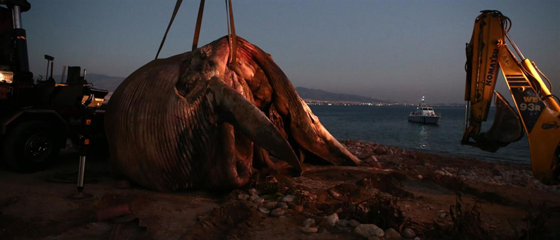 Φάλαινα ξεβράστηκε νεκρή στον Πειραιά (εικόνες)